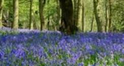 Bluebells in Forest of Dean