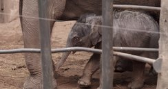 Baby elephant born at Chester Zoo