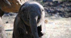 Howletts Elephant Calf