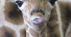 Giraffe Banham 1