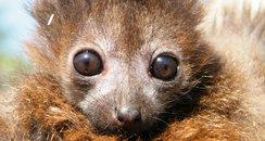 Lemurs at Cotswold