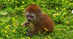baby Gentle lemur