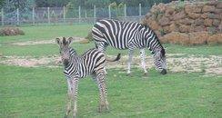 Zebra Africa Alive