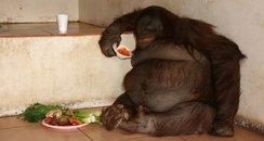 Oshine lives at Monkey World in Dorset