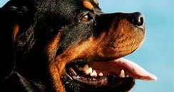 Rottweiler like this one...