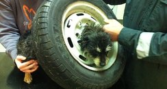 terrier stuck in spare wheel