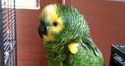 Stolen Parrot