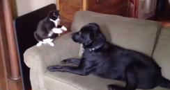 A cat and a dog have a boxing match