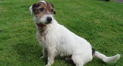 dog, terrier, jack russell, abandoned in devon
