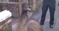 Emu in street