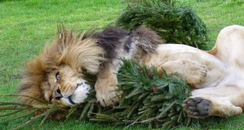 Linton Zoo Xmas Tree Lion