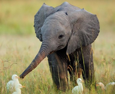 A baby elephant greeting some ducks