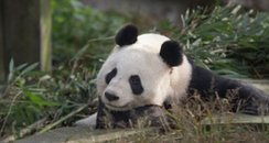 Scottish Panda Sunshine - Scent Marking