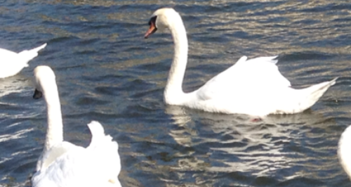 Swan swimming on the river