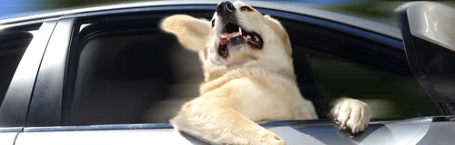 Dogs in Cars Calender 2014