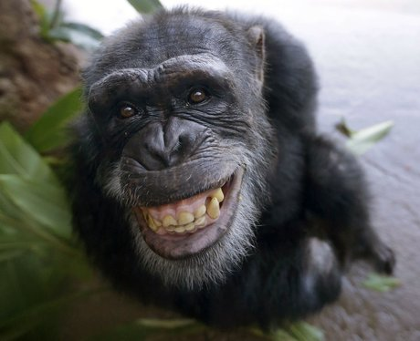 A chimp smiling