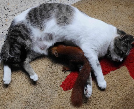 nursing cat feeds squirrel