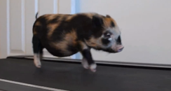 Micro pig on a treadmill