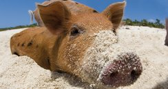 Pigs playing on a beach and in the sea