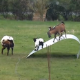 goats playing in a field