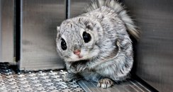 Siberian flying squirrel gets in an elevator.