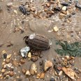 Someone was seen throwing the hand grenade around for a dog on Harwich beach yesterday