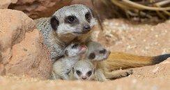 Bristol Zoo Baby Meerkats