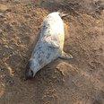 Dead seal on Gwithian beach, Cornwall