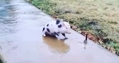 Piglet sliding on ice