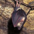 Last remaining bats in Devon