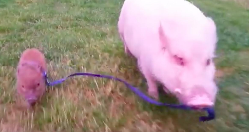 Storyful: Papa pig
