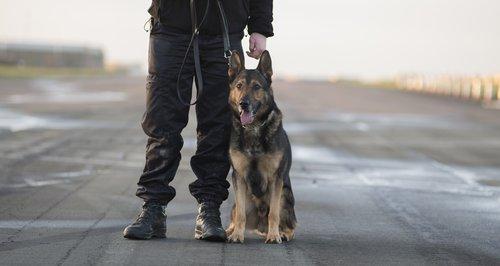 Herts Police Dog Finn 1