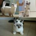 Pooky The Munchkin Kitten 2