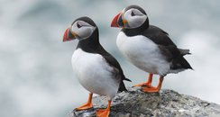 Puffins at risk of global extinction