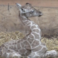 Baby giraffe born at Paignton zoo