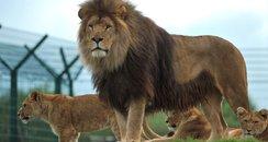 Folly Farm Lion