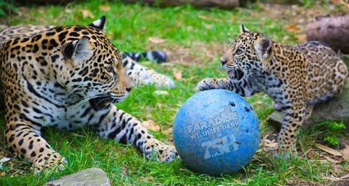 Keira the Jaguar at Paradise Wildlife Park